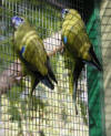 photo of Rock parrot